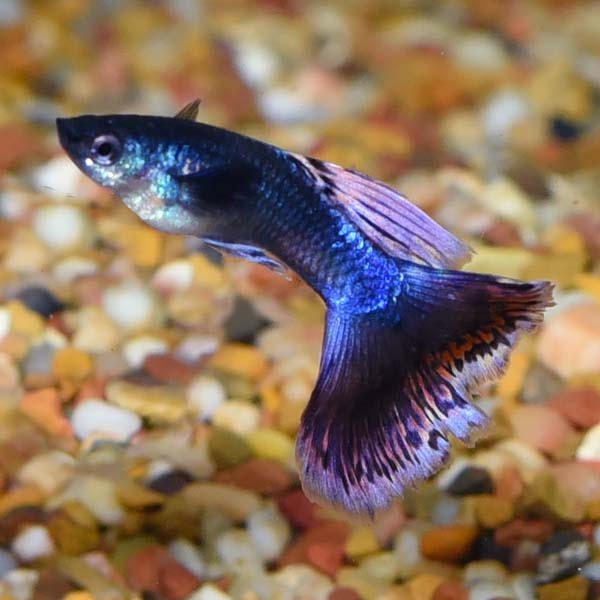 Guppies require very little care