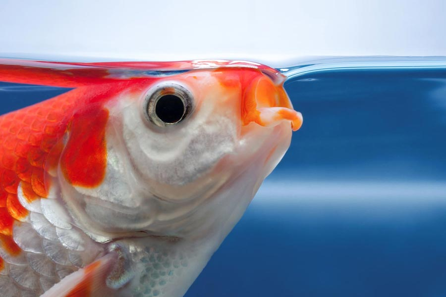 How Long Can A Fish Live Out Of Water