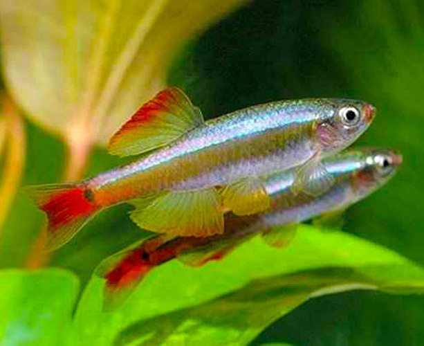 White cloud minnows have stunning look