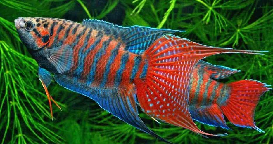 You should raise alone the paradise fish in the bowl