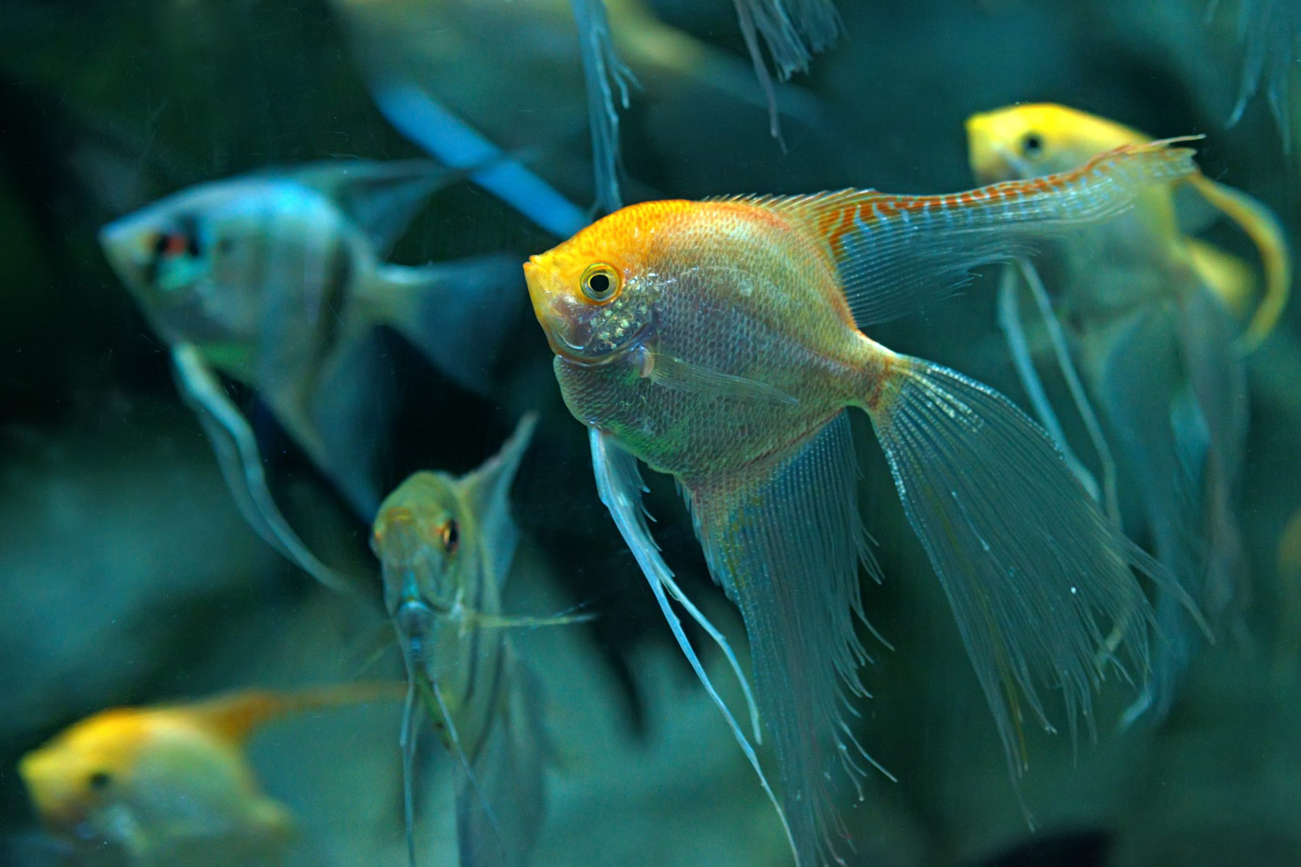 Angelfish-are-aggressive-and-tend-to-eat-smaller-fish-scaled