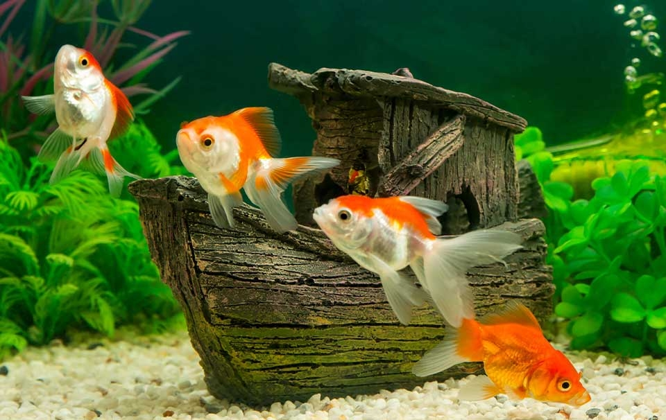 Can-Goldfish-Live-With-Angelfish