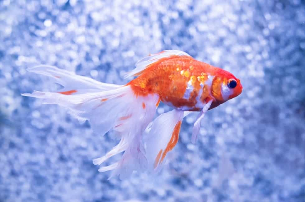 Can goldfish freeze and come back to life