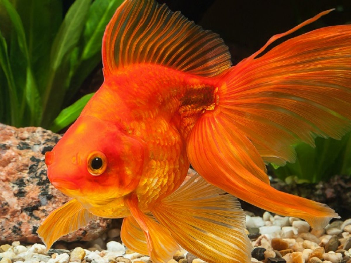 Goldfish-consume-more-'green-foods