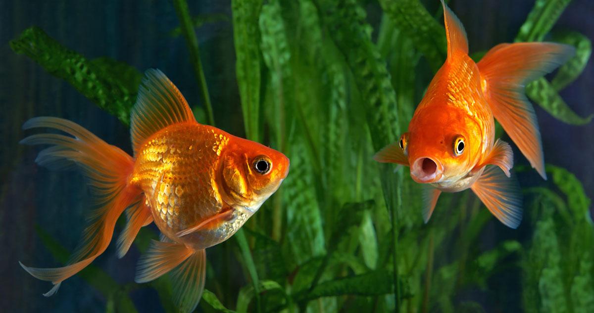 How-often-should-you-feed-goldfish