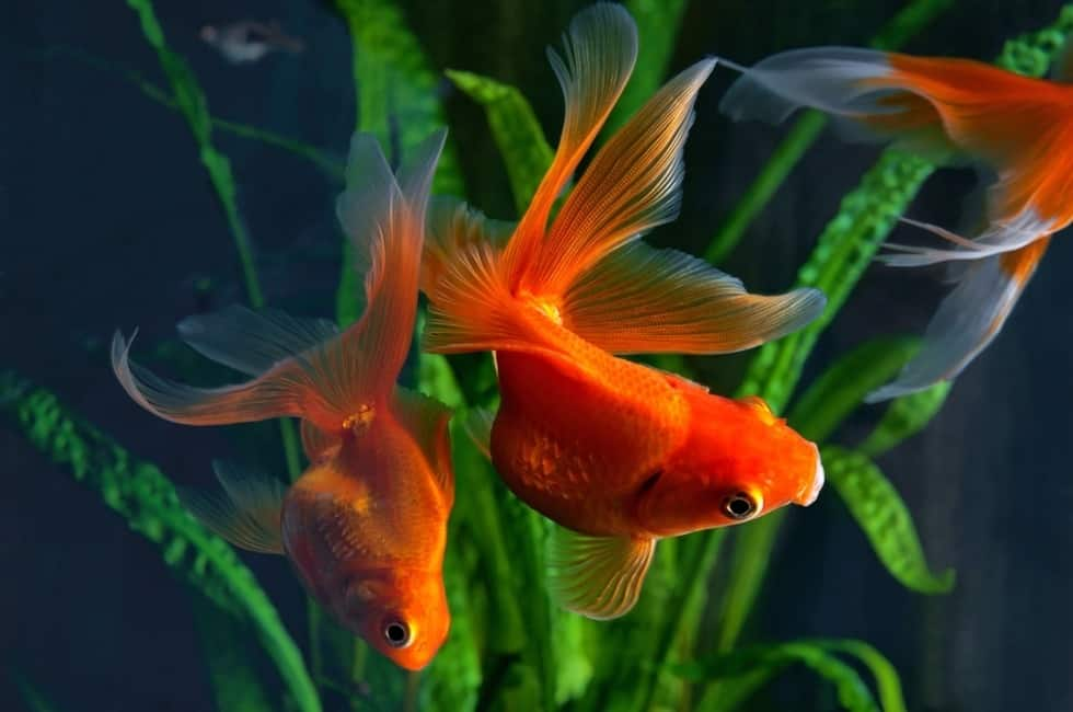 Most goldfish can stand the temperature of at least 5ºC