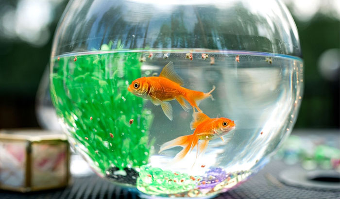 The-ideal-diet-of-a-pet-goldfish-is-based-on-what-they-eat-in-the-wild