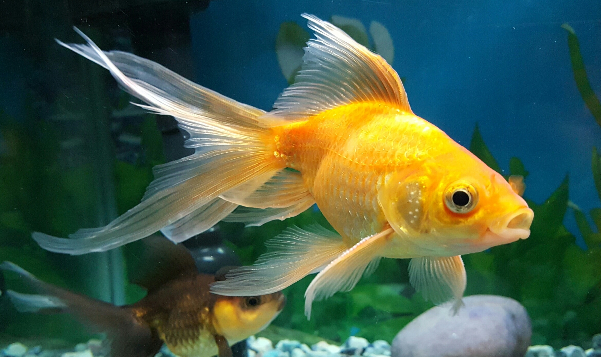 What-Do-Goldfish-Eat-In-The-Wild