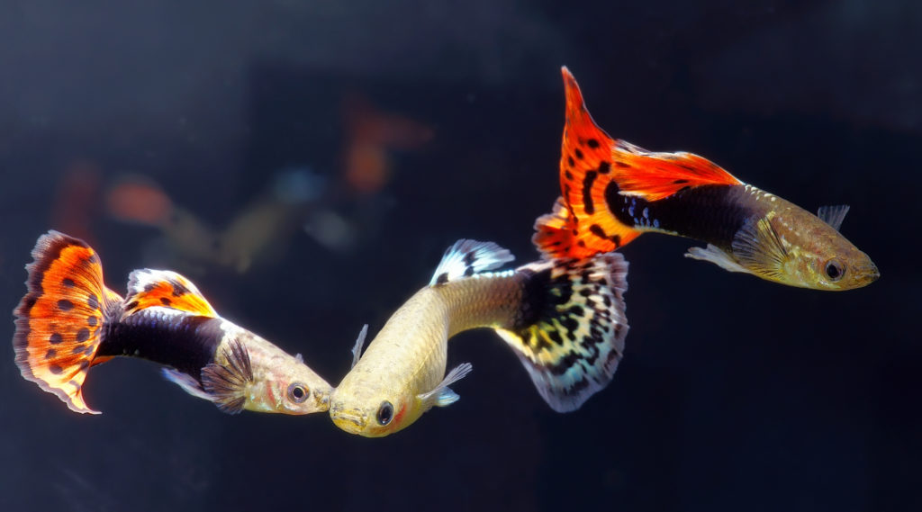 What-Do-Guppies-Eat