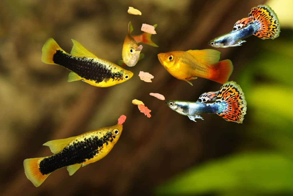 What guppies eat in the wild
