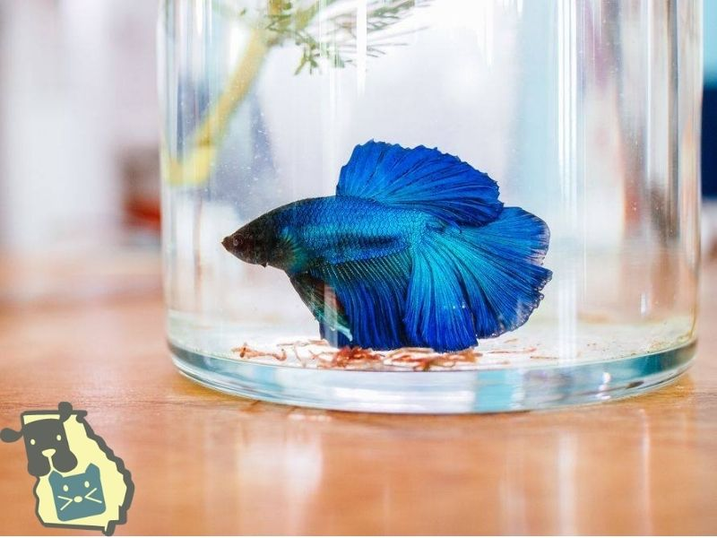 How To Tell If Your Betta Is Dying