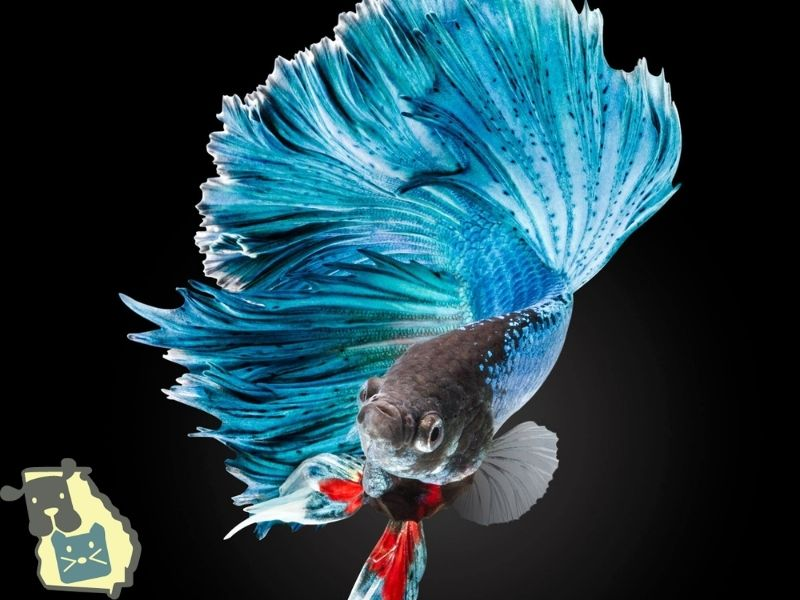 The wrong pH or water temperature can cause a betta's death